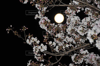 フルムーンと桜の写真・画像素材[3086843]