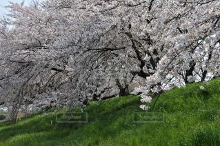 緑に続く桜並木の写真・画像素材[3087349]