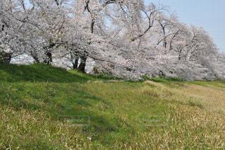 緑に続く桜並木の写真・画像素材[3087352]