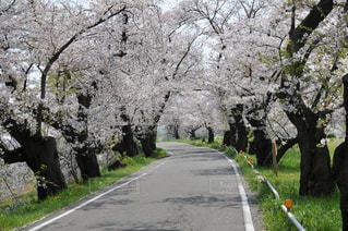 桜並木続くの写真・画像素材[3087354]
