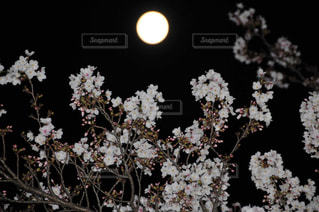 フルムーンと桜の写真・画像素材[3087357]