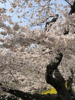 大樹の桜の写真・画像素材[3087366]