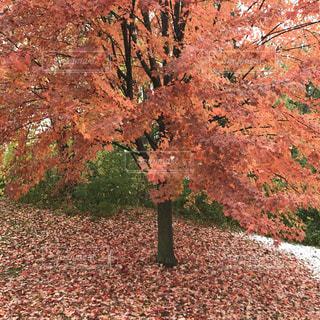 赤くなるメープルリーフ カナダの写真・画像素材[3158559]