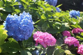 ハートの紫陽花の写真・画像素材[3087906]
