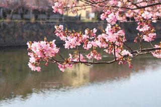 河津桜の写真・画像素材[3087909]