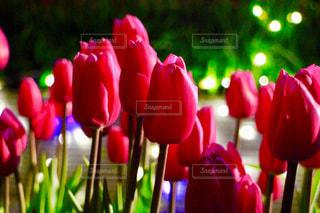 夜のチューリップの写真・画像素材[3087911]