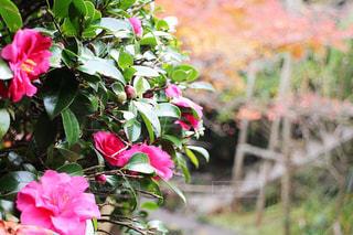 ピンクの花の写真・画像素材[3087912]