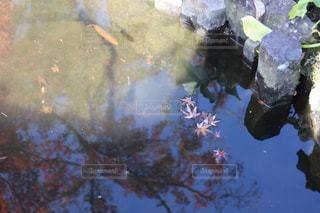 水面の落ち葉の写真・画像素材[3087915]