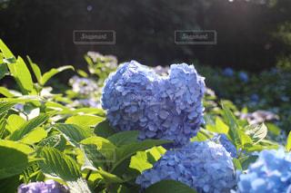 ハートの紫陽花の写真・画像素材[3090194]