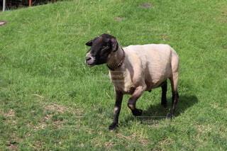 牧場の羊の写真・画像素材[4669001]
