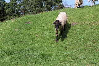 坂を駆け降りる羊の写真・画像素材[4669003]