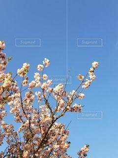飛行機雲と桜の写真・画像素材[3119673]