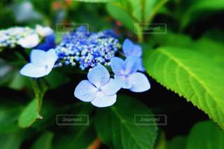 紫陽花の写真・画像素材[3147273]