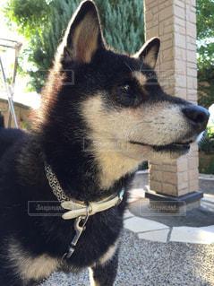 イケてる柴犬の写真・画像素材[3279129]