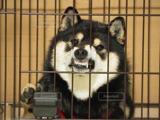 ケージの中で怒る犬の写真・画像素材[3098377]