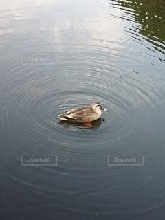 鴨と水の輪の写真・画像素材[3101214]