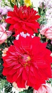 赤い花の写真・画像素材[3109765]