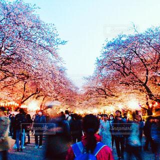 桜道の写真・画像素材[1171343]