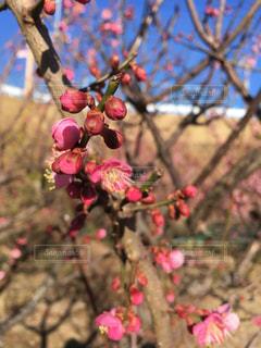 木からぶら下がってりんごの写真・画像素材[1077842]