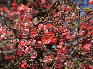 木の枝にピンク色の花の束の写真・画像素材[1077845]