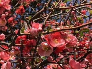 近くの木にピンクの花の束をの写真・画像素材[1077846]
