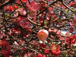 木からぶら下がってりんごの写真・画像素材[1077848]