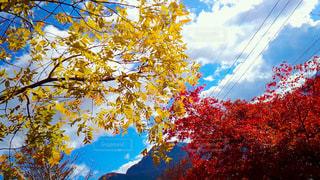 木のクローズアップ(紅葉)の写真・画像素材[3123941]