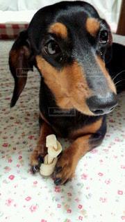 おやつを離さない犬の写真・画像素材[3123948]