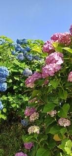 青空と紫陽花の写真・画像素材[3509794]