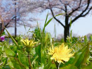 たんぽぽと桜の写真・画像素材[3188714]