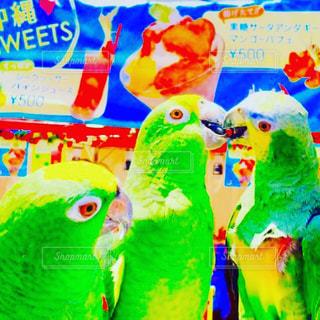モデル,夏,フェス,鳥,撮影,インコ,代々木公園,お洒落,鳥類,bird,model,ボウシインコ,沖縄まつり,Amazonparrot