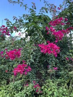 沖縄の花の写真・画像素材[3109244]