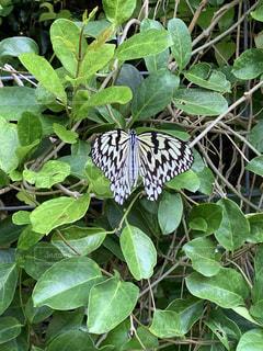 沖縄の蝶々の写真・画像素材[3109250]
