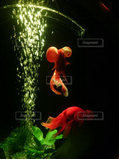金魚、出目金の写真・画像素材[3110848]