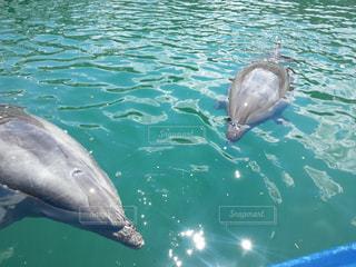 水の中のイルカの写真・画像素材[3111273]