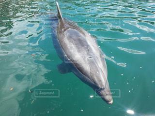 泳ぐイルカの写真・画像素材[3111275]