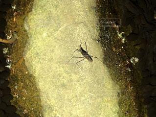 地上にいるアメンボの写真・画像素材[3140609]