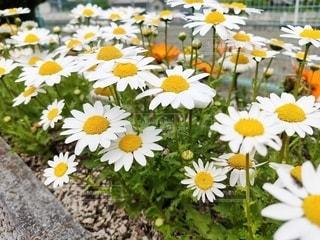 白い花の写真・画像素材[3168001]