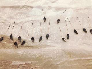 リューカデンドロン プルモサスの種の発芽。の写真・画像素材[3308567]