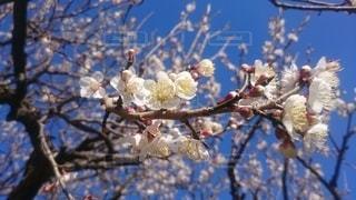 梅の木の写真・画像素材[3148024]