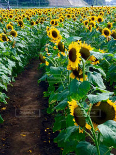 緑の葉と黄色の花の写真・画像素材[1295239]