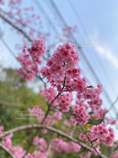八重岳の緋寒桜の写真・画像素材[3117666]