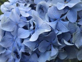 紫陽花の写真・画像素材[3357160]