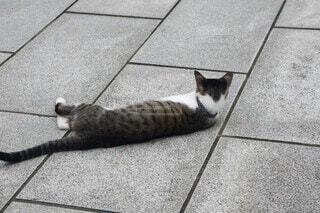 転げ回る三毛猫の写真・画像素材[3973022]