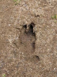 イノシシの足跡の写真・画像素材[3121003]