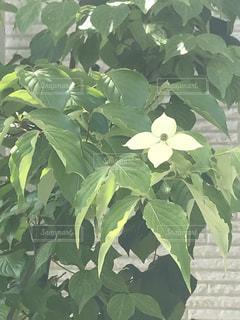 ヤマボウシの花の写真・画像素材[3331601]