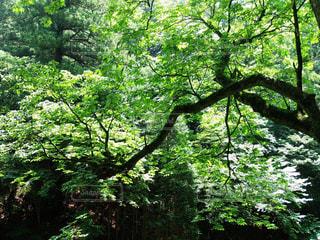 森の中の木の写真・画像素材[3138532]