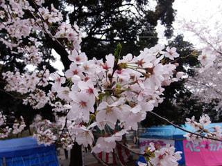 桜のクローズアップの写真・画像素材[3138536]