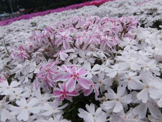 芝桜のクローズアップの写真・画像素材[3138542]