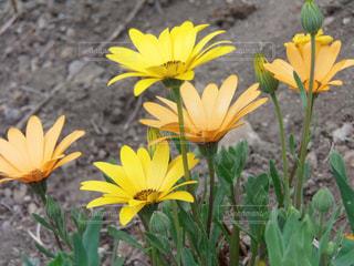 黄色い花の写真・画像素材[3138545]